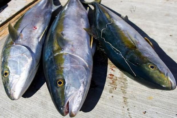Tuńczyk i węgorz mogą zniknąć ze sklepów