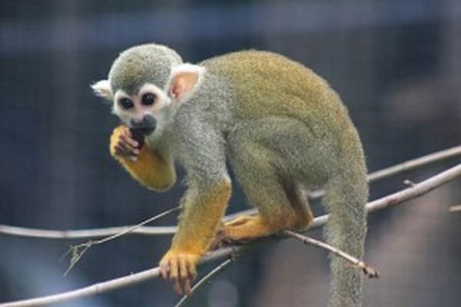 Małpka Express adoptuje małpkę z warszawskiego ZOO