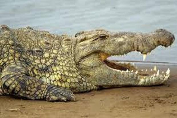 Rosjanie zamiast wieprzowiny będą jeść krokodyle