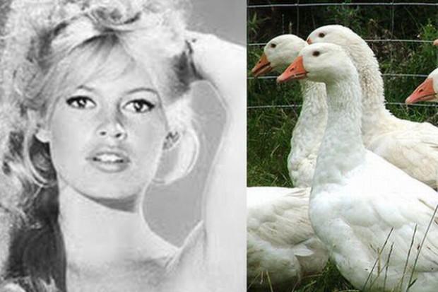 Brigitte Bardot apeluje o zakaz oskubywania żywych gęsi i kaczek