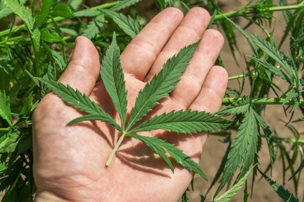 Marihuana z certyfikatem koszerności