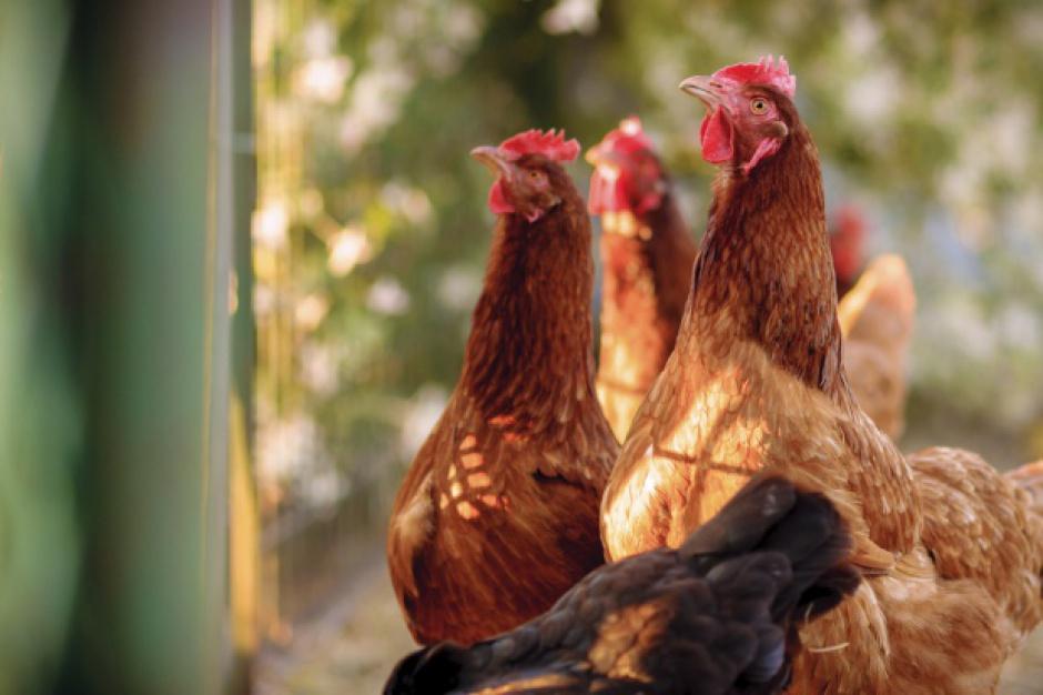 W Polsce można wirtualnie zaadoptować kurę i otrzymywać od niej jaja