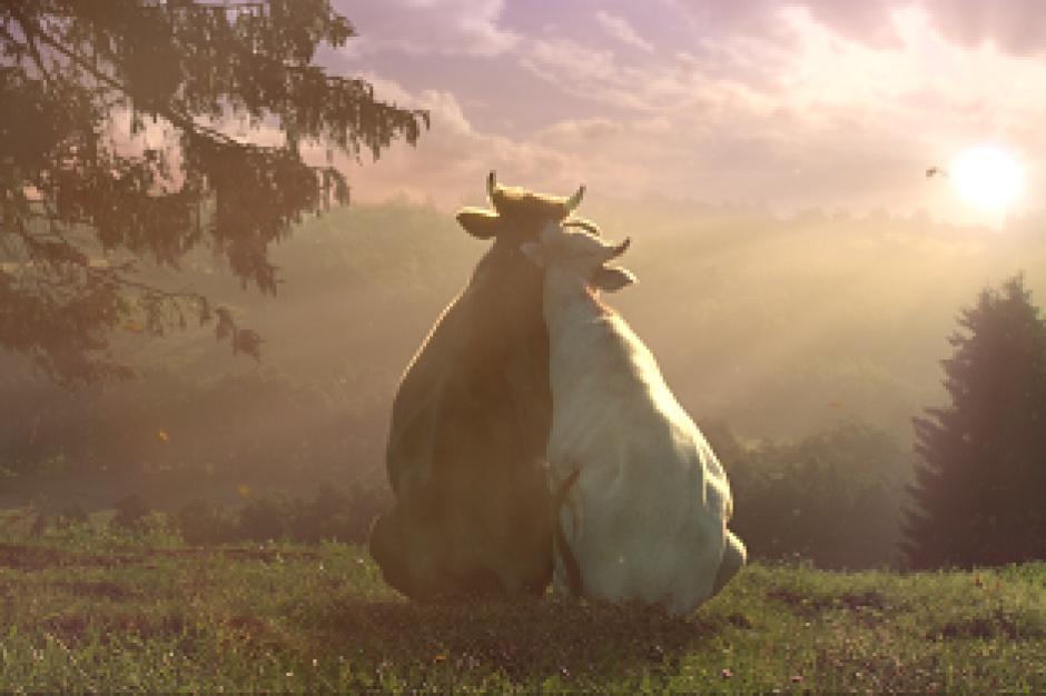 Rusza kampania reklamowa mleka Łaciate