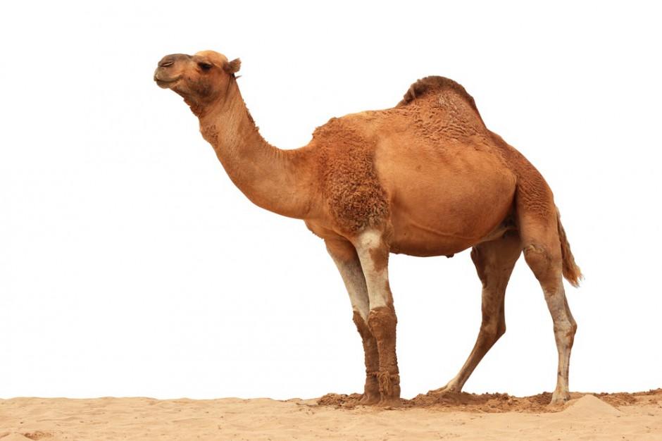 Asda sprzedaje mleko wielbłądzie. Detalista: To najnowszy trend rynkowy