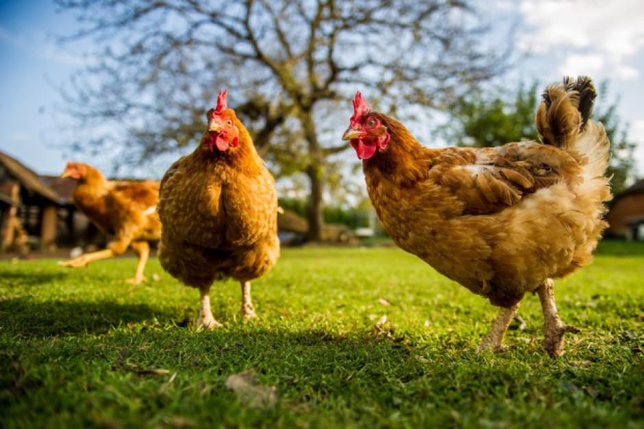 Bezprecedensowy wzrost przydomowych stad drobiu reakcją na rosnące ceny jaj