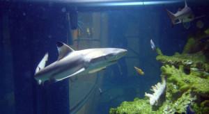 Arkady Wrocławskie wysyłają rekiny do zoo w Londynie
