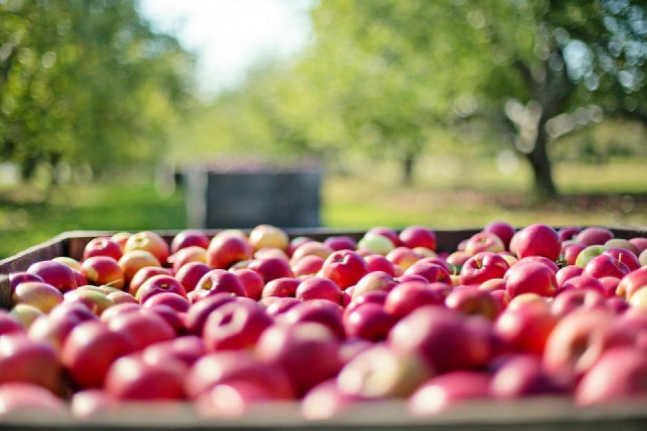 Sieci rekordowo promują jabłka. Producenci: Ceny w sklepach nie spadają, a branża walczy o przetrwanie