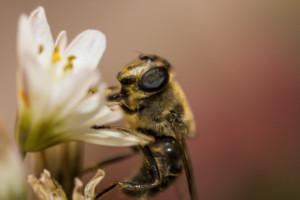 Wyszkolone pszczoły wykrywają koronawirusa