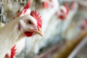 Konsumenci nie chcą płacić za lepszy dobrostan zwierząt