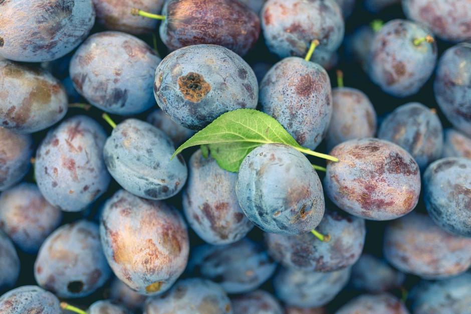 Biedronka kupiła od rolników 200 ton śliwki po ulewnych deszczach